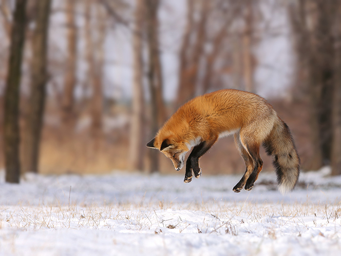 National Geographic jumping fox